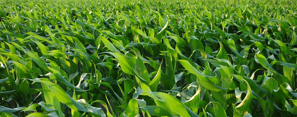 Wachsender Mais  (Merit de Jong)