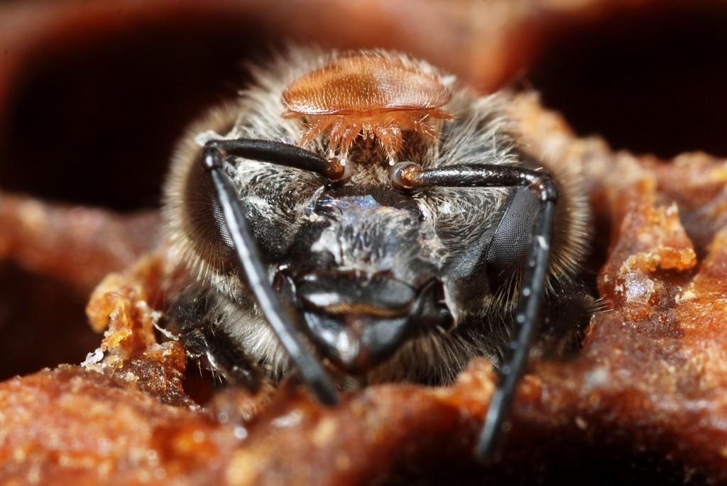 Varroa et abeilles sortant d'une cellule   (Gilles San Martin)