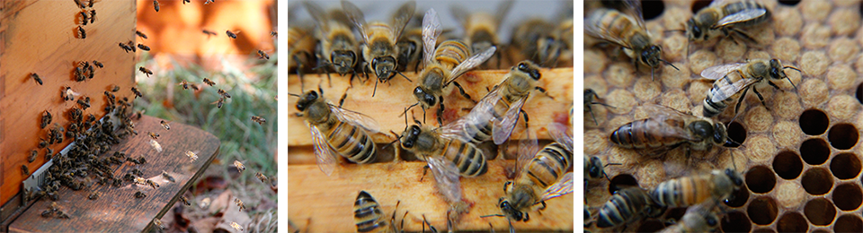 Healthy honeybees  (Ireen Roskam)