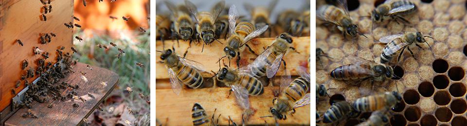Gezonde honingbijen  (Ireen Roskam)