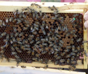 Queen with Brood